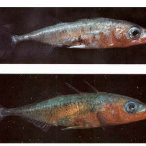 White (top) versus common (bottom) males, From Blouw 1996